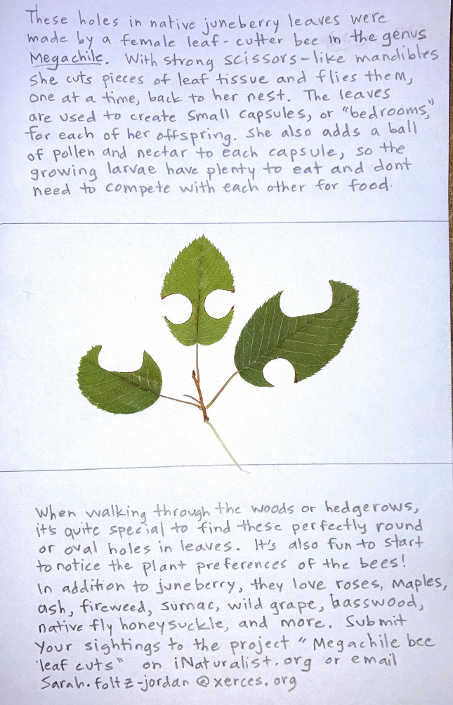 Two handwritten paragraphs of white paper, with pressing of three green leaves with cuttings from bees.