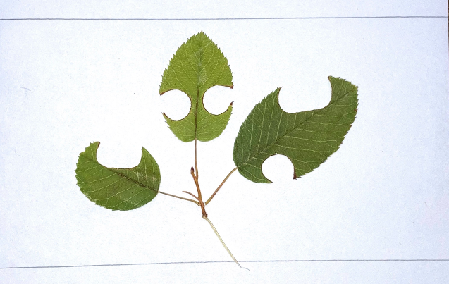 Pressing of three green leaves with cuttings from bees.