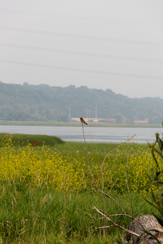 Brown bird rests on thin vertical branch, above green grass and yellow flowers, with river, trees, and wastewater treatment plant in background.
